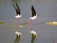 """鸟界""""超模""""-黑翅长脚鹬"""