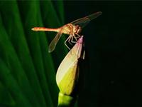 小荷与蜻蜓