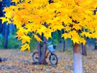 校园秋色满目黄