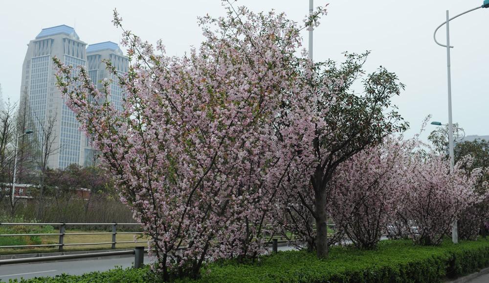 邯郸路校区 贴梗海棠 上海市园林科学研究所 垂丝海棠景观 上海植物园