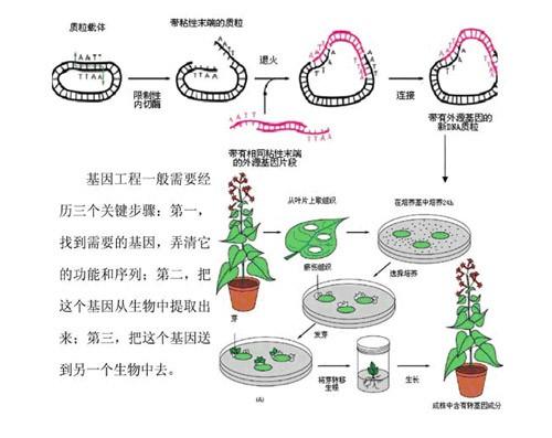 中国 转基因技术/当今中国对转基因技术、转基因作物和转基因食品的安全性...