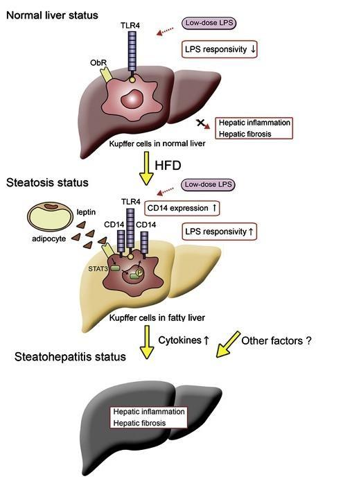 因而促进了脂肪肝的形成
