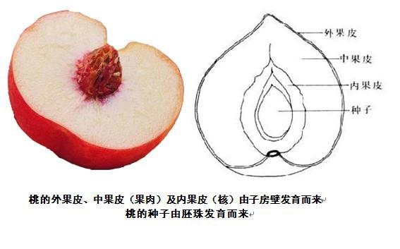 裂开时或动物啃食后吐露,它的种子是不外露的,如苹果,大豆即被子植物.