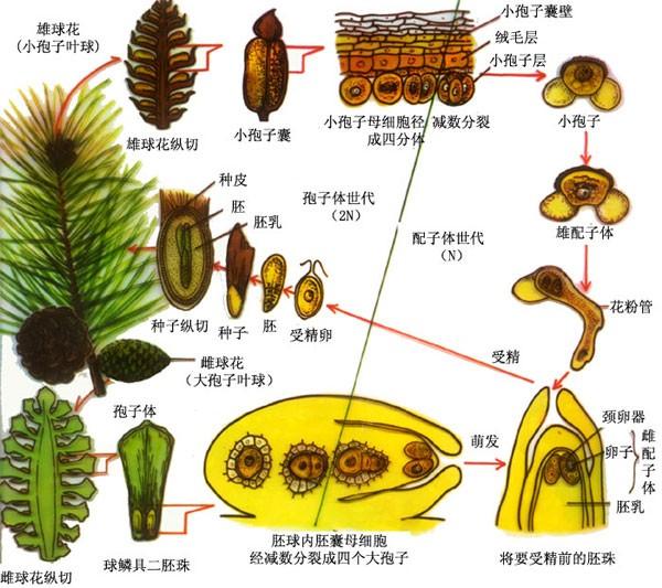 在所有种子植物中可以分为两类,即被子植物和裸子植物。这两类植物的共同特征是都具有种子(胚珠发育而来)这一构造,但也有许多重要区别,其中最主要的区别是被子植物的种子生在果实(果皮由子房壁发育而来,真果皮)里面,除了当果实成熟后裂开时或动物啃食后吐露,它的种子是不外露的,如苹果、大豆即被子植物。裸子植物则不同,其胚珠裸露,没有子房壁,没有果实这一构造。它的种子仅仅被一鳞片覆盖起来,决不会把种子紧密地包被起来。在针叶乔木的枝条上,会结出许多红棕色的球果,当仔细观察时,会看到它是由许多木质鳞片所形成,它们之间相