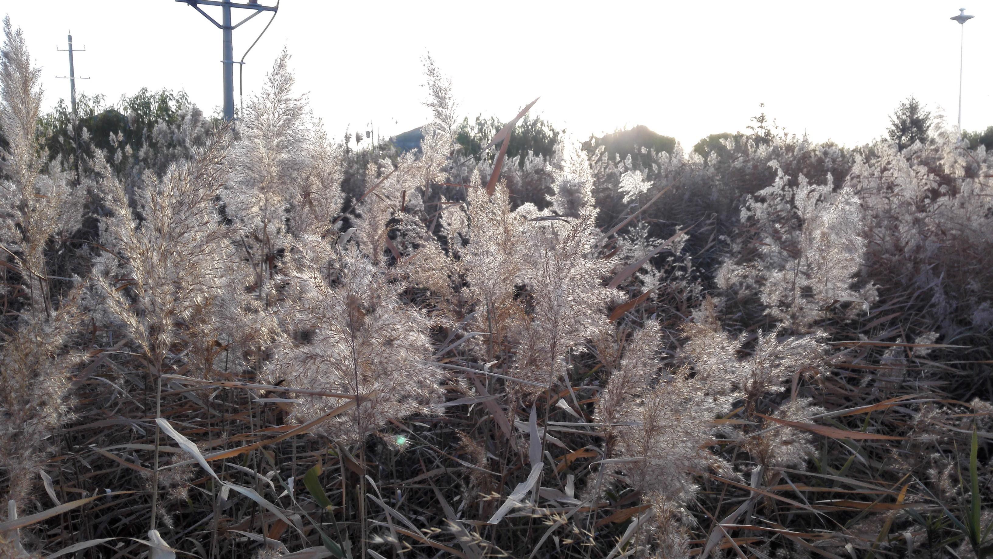 科学网冬季的芦苇
