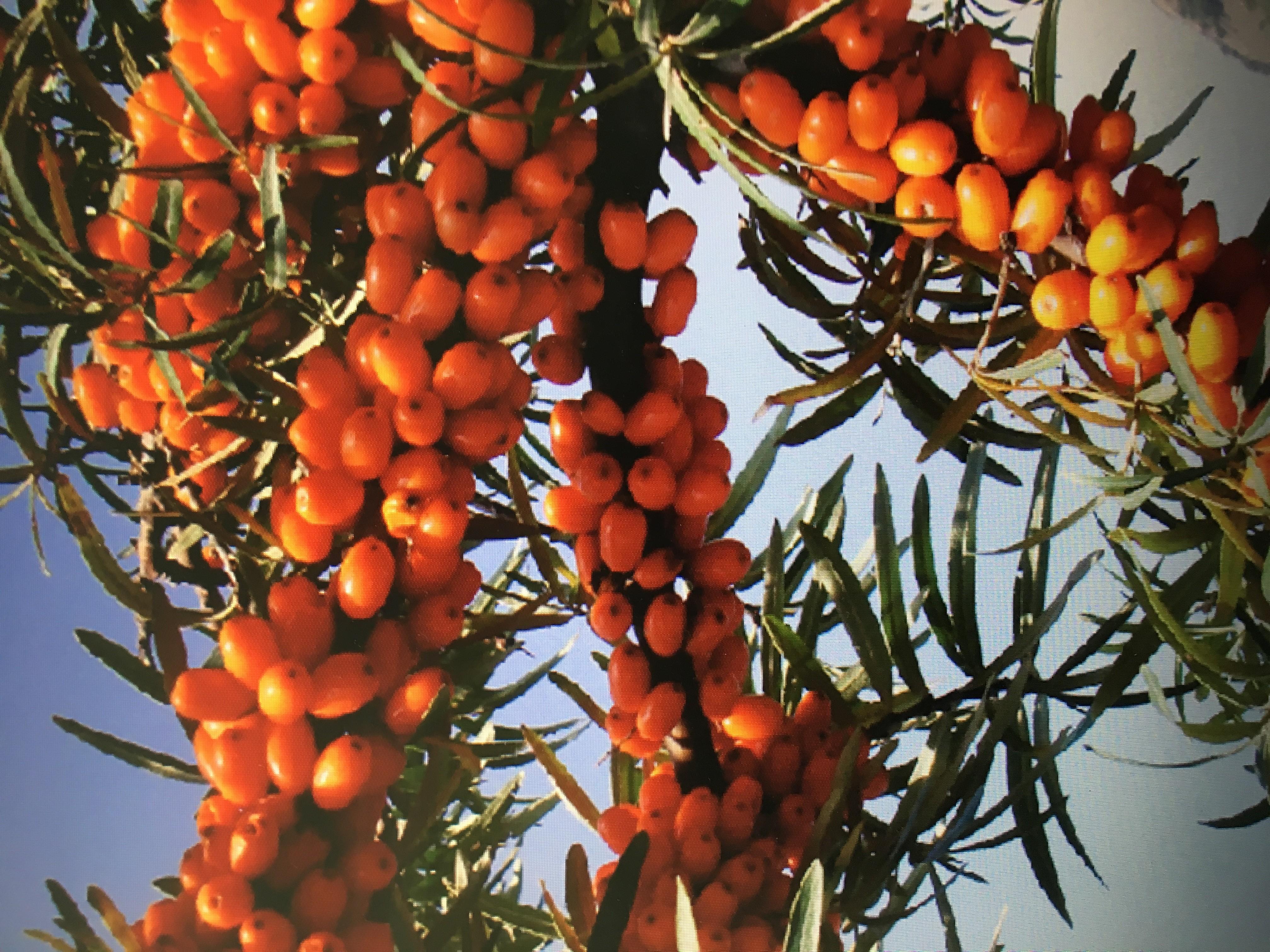 中国学术在线会议_科学网—深秋红大果沙棘丰产照片:沙棘果,沙棘,大果沙棘 ...