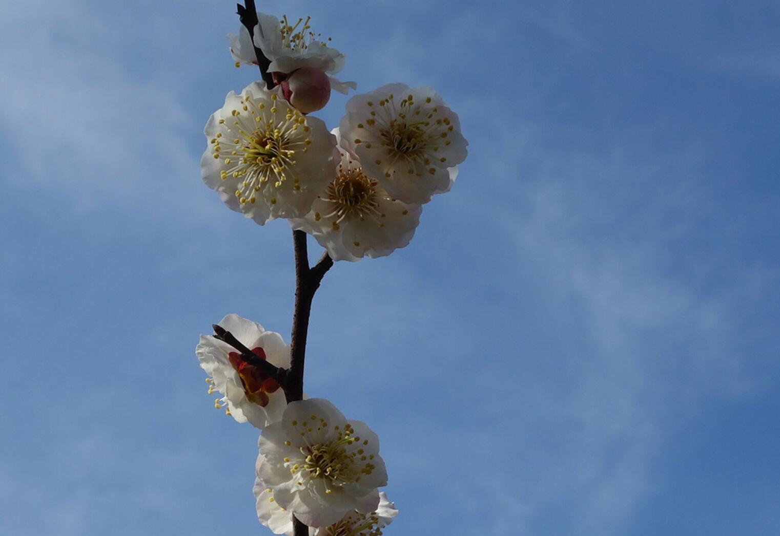 无锡梅园的梅花06.jpg