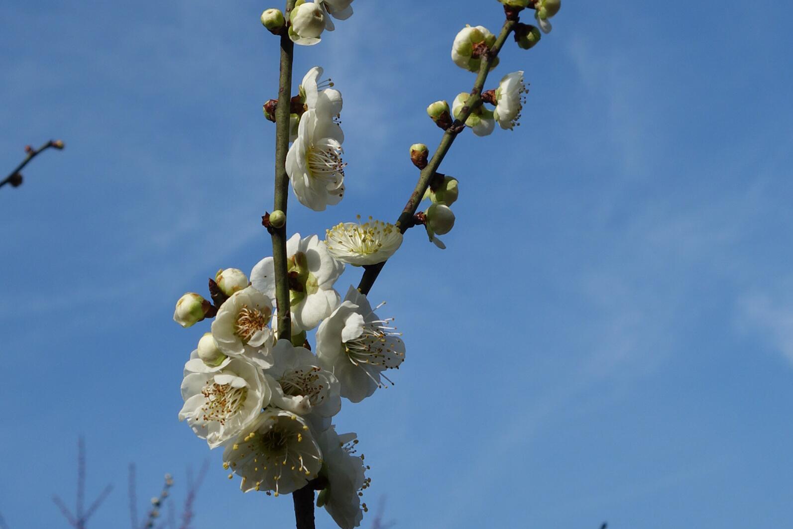 无锡梅园的梅花11.jpg