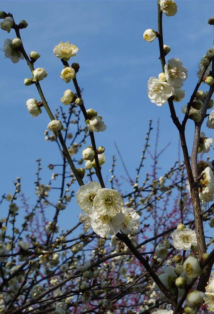 无锡梅园的梅花12.jpg