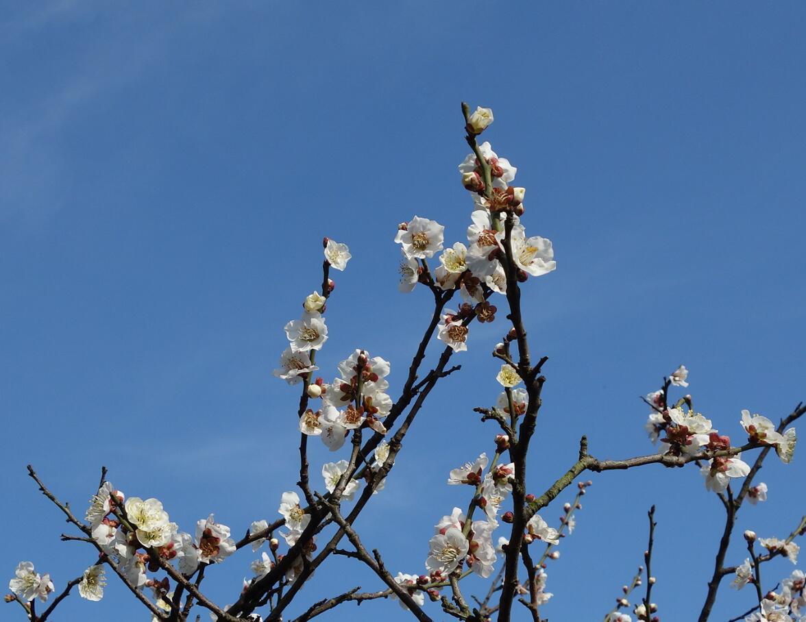 无锡梅园的梅花13.jpg
