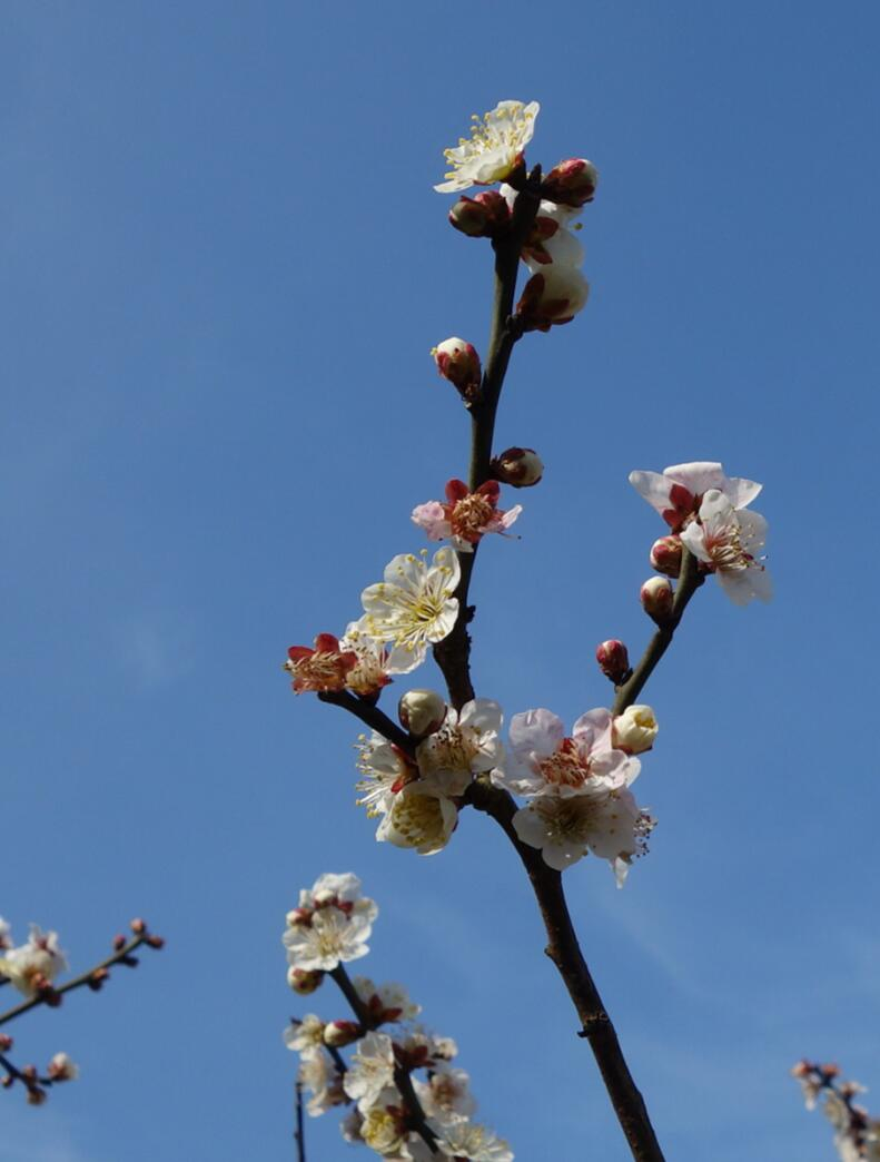 无锡梅园的梅花14.jpg