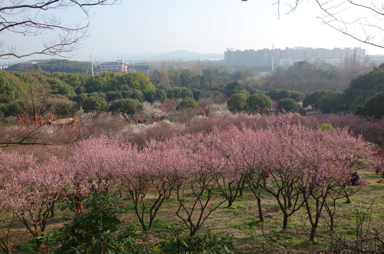 无锡梅园的梅花15.jpg