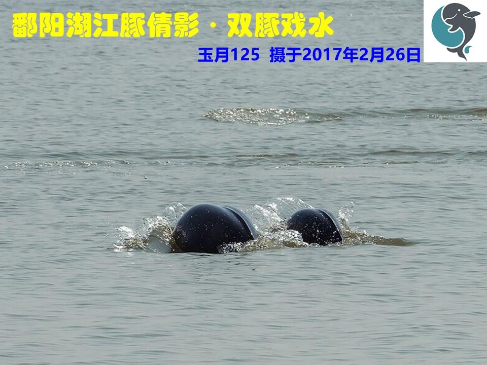 鄱阳湖江豚倩影·双豚戏水.jpg