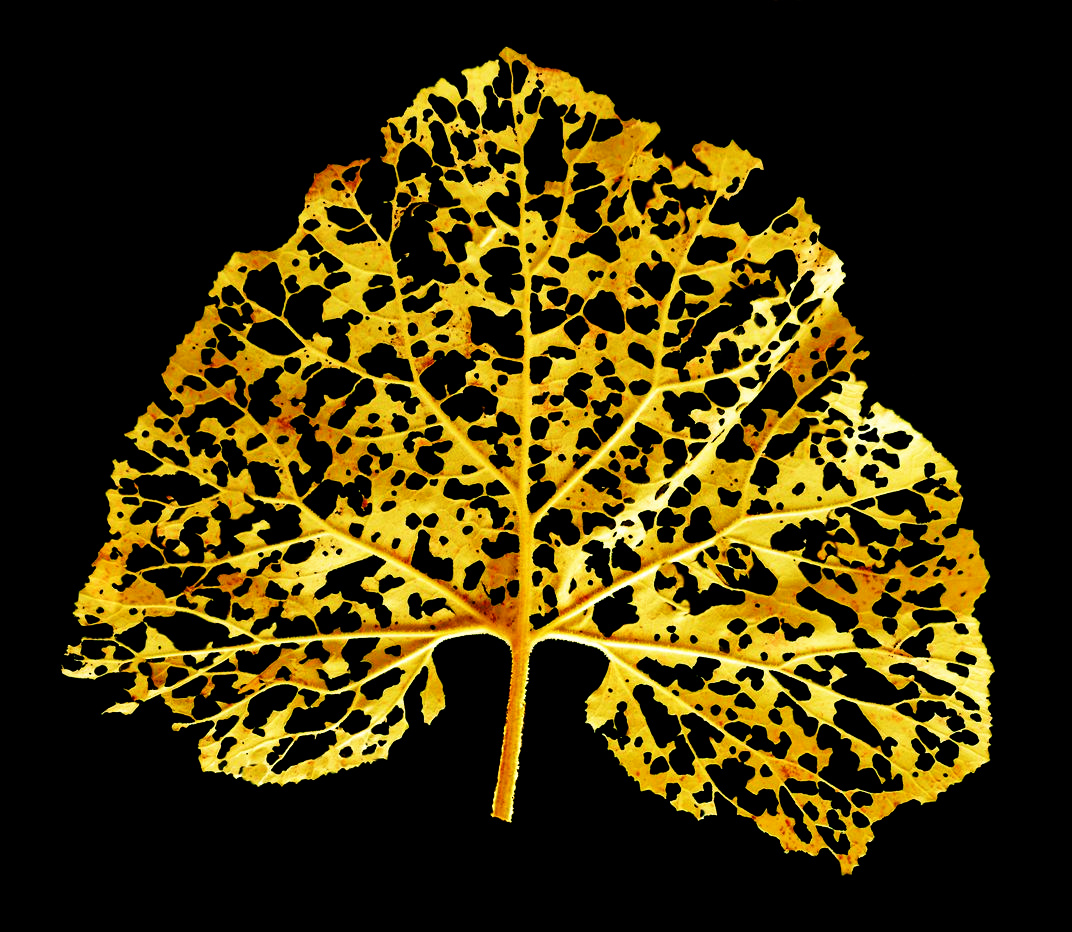 A fallen leaf with shining golden tones during the decomposition process@Karolos.jpg