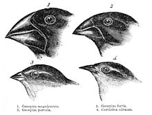 220px-Darwin_s_finches_by_Gould (1).jpg