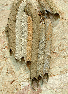 220px-Organ_Pipe_Wasp_nest.jpg
