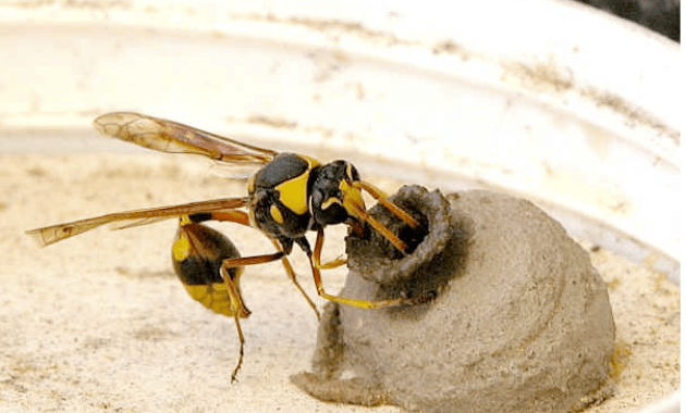 How-to-Handle-Mud-Dauber-Wasp.png