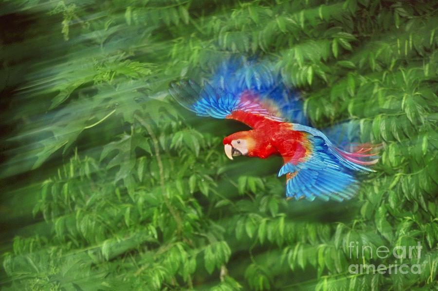 scarlet-macaw-juvenile-in-flight-frans-lantingmint-images.jpg