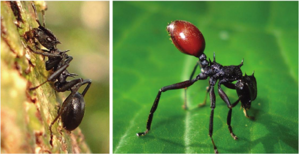 healthy-ant-vs-nematode-red-an.png