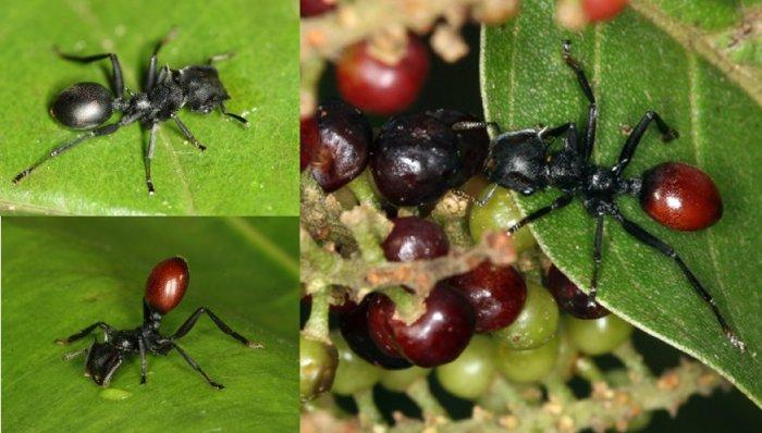 Myrmeconema neotropicum is a nematode that infects the ant Cephalotes atratus..jpg
