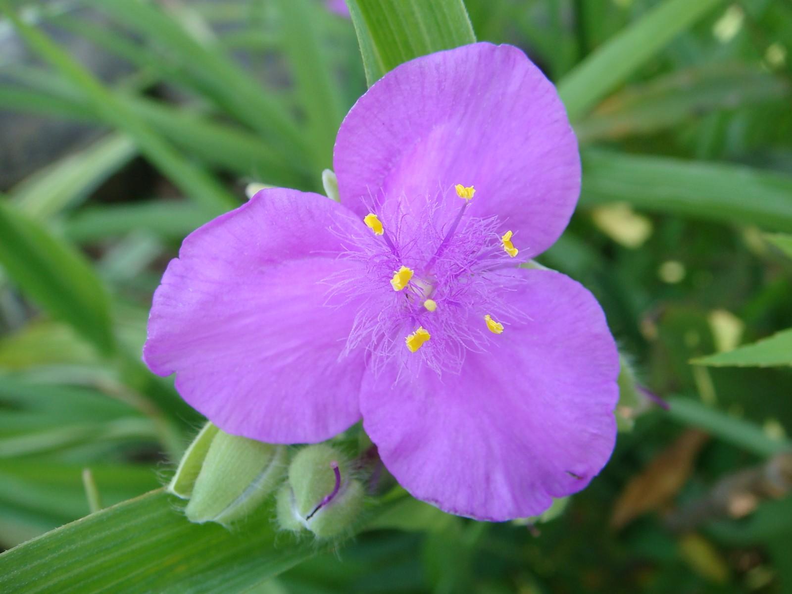 紫露草4.JPG