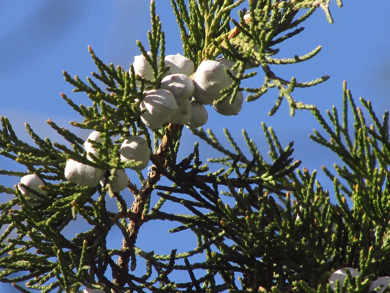 柏树长出的珍珠 01 IMG_9606.jpg