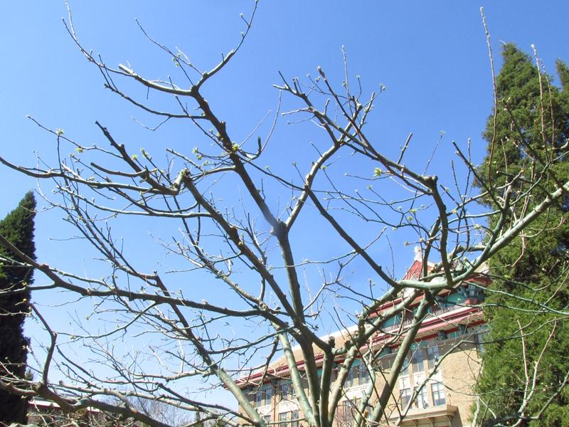 被砍头的牛顿苹果树(第二代) 02 IMG_1170_副本.jpg