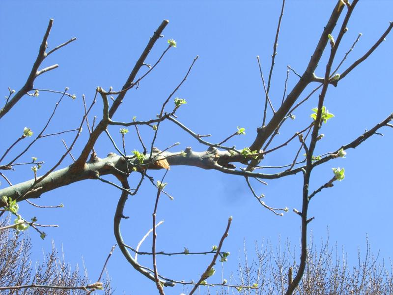 被砍头的牛顿苹果树(第二代) 04 IMG_1176_副本.jpg