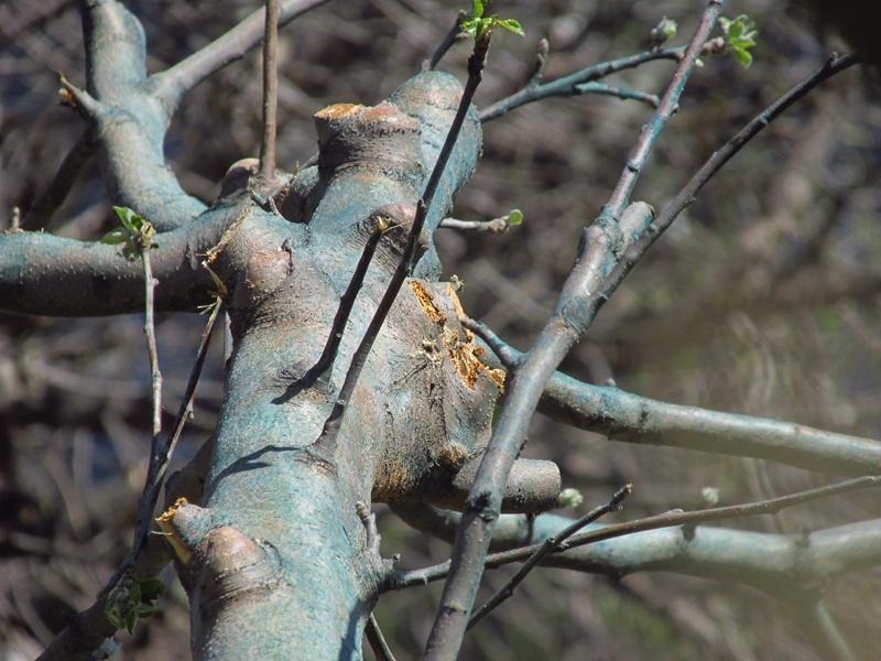 被砍头的牛顿苹果树(第二代) 08 IMG_1204_副本.jpg