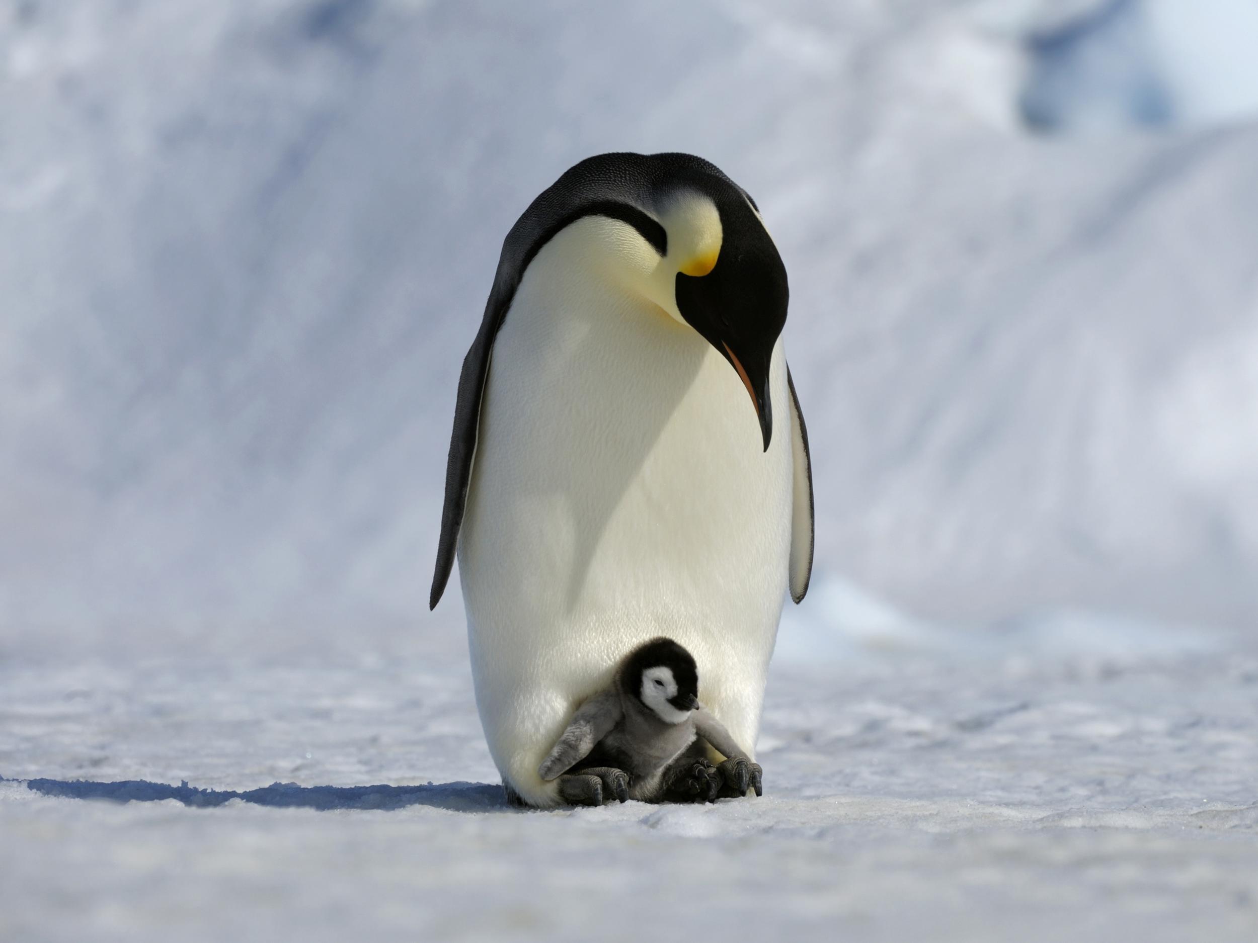 emperor-penguin.jpg