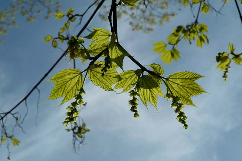 2019-06-07 Some trees can change sex and are more likely to die when female a8.jpg