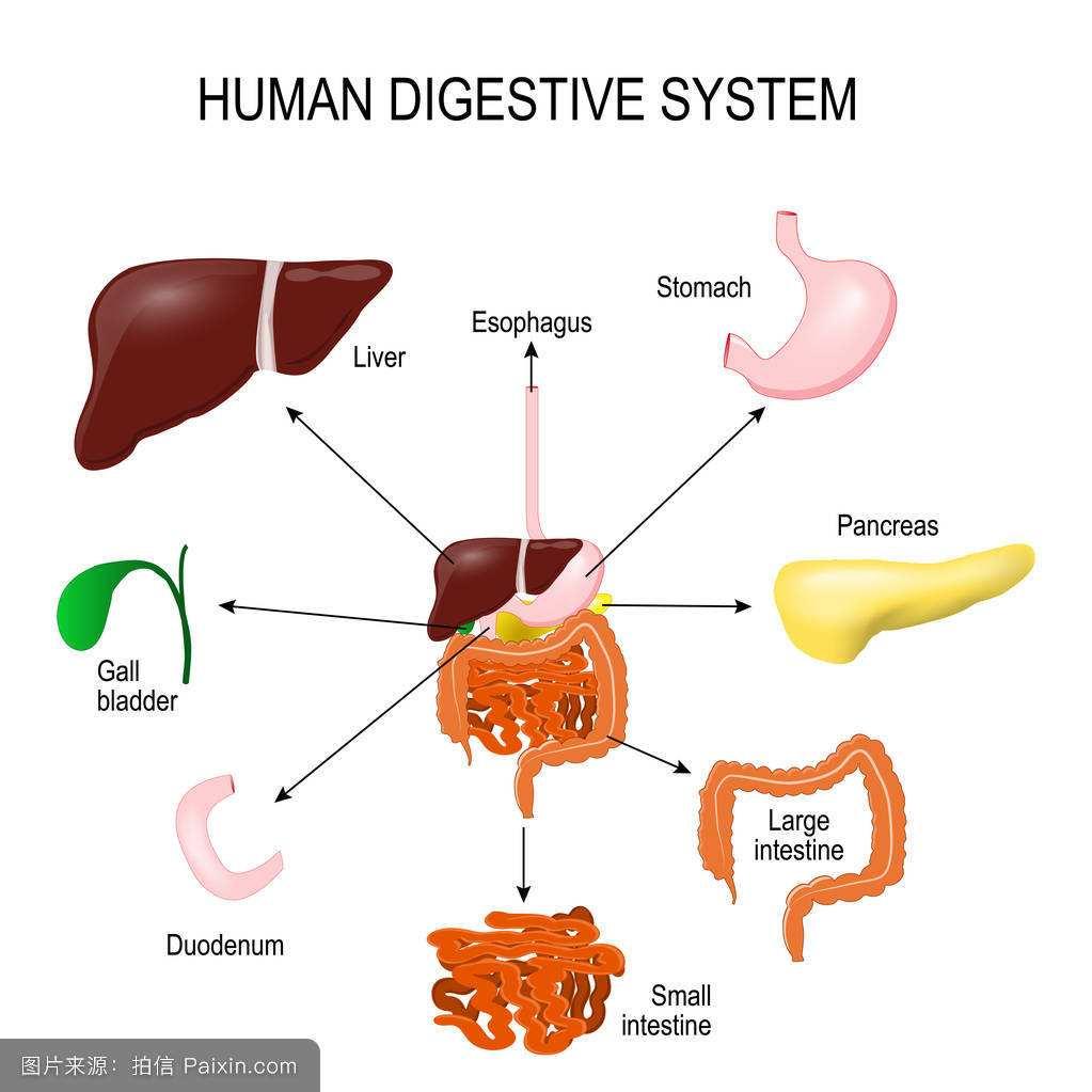 消化系统.jpg