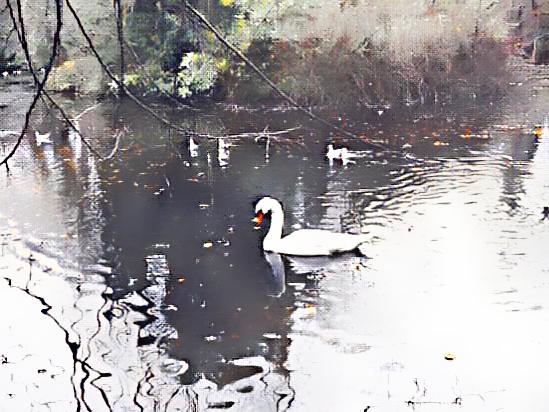 bird-swan-water-water-bird-135982957 (4).png