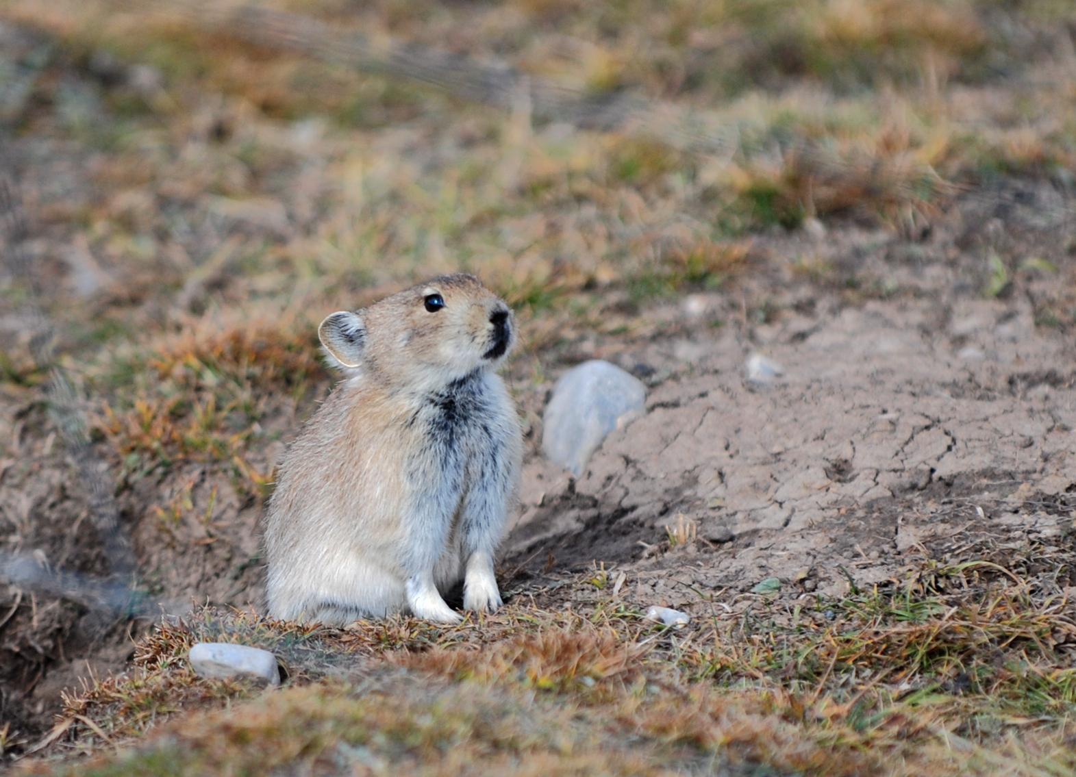 高原鼠兔1.jpg