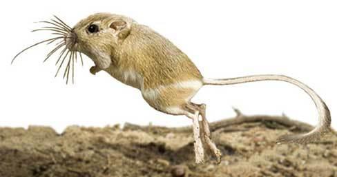 kpimfo-kangarooratlarge.jpg