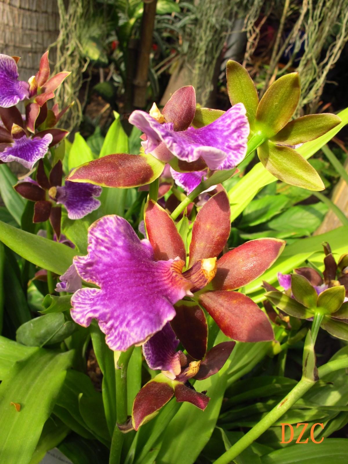 1紫香兰.jpg