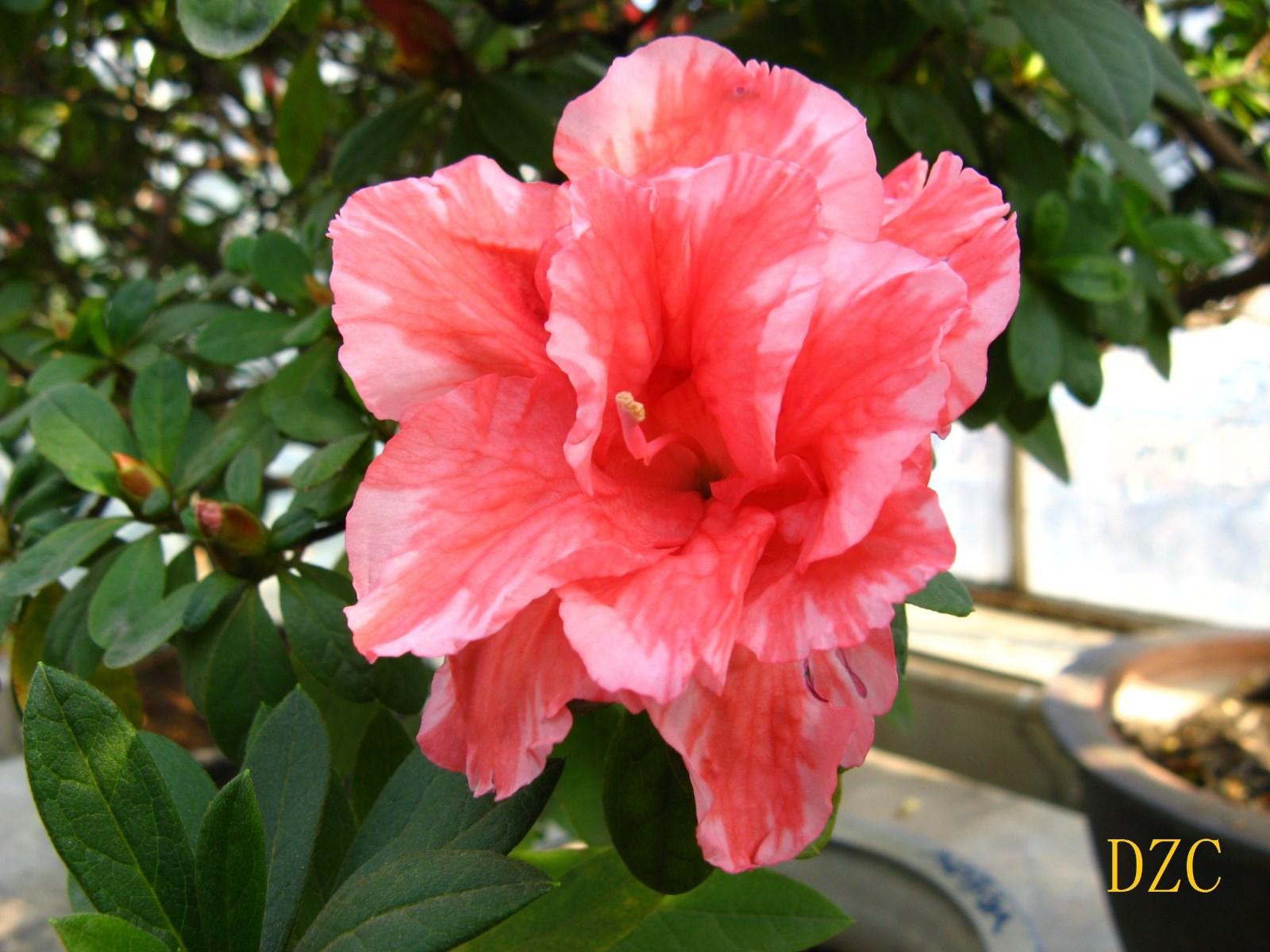10IMG_4403杜鹃(杂种)植物所1.jpg