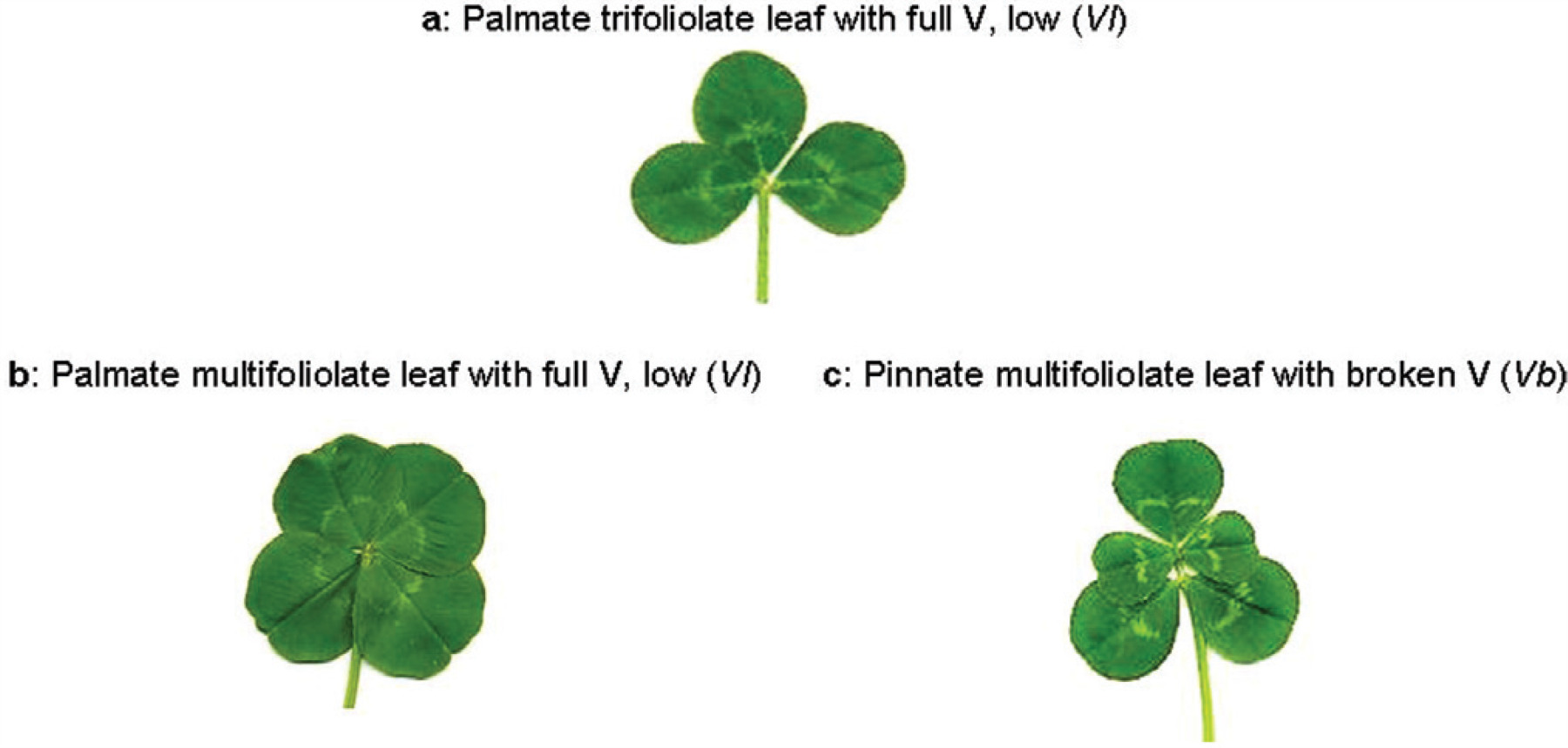 2010 Leaf Trait Coloration in White Clover csc2cropsci2009080457-fig-0002-m.jpg