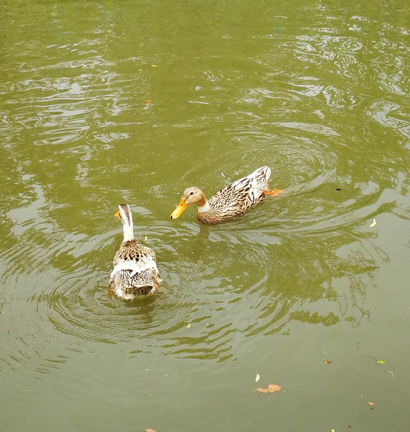 双鸭.jpg