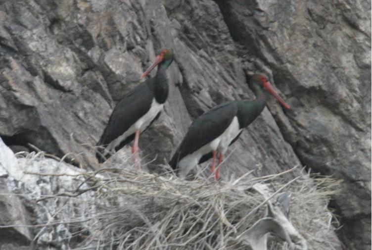 black stork in clif.JPG