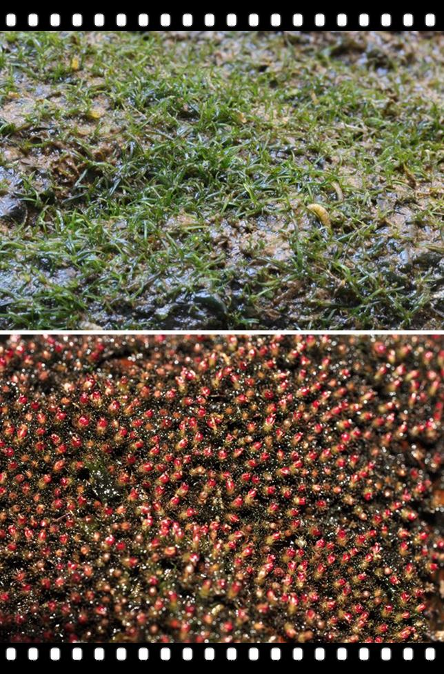 合并的川苔草照片-2.jpg