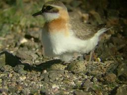 8形形色色的鸟巢8——伪装色蒙古沙鸻-不易被发现的地面巢-.jpg