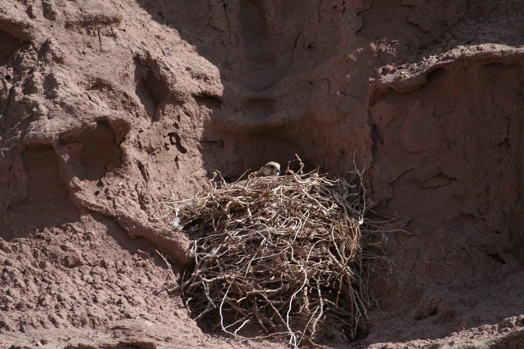 14形形色色的鸟巢14——台地上的鵟巢-马鸣 摄.jpg