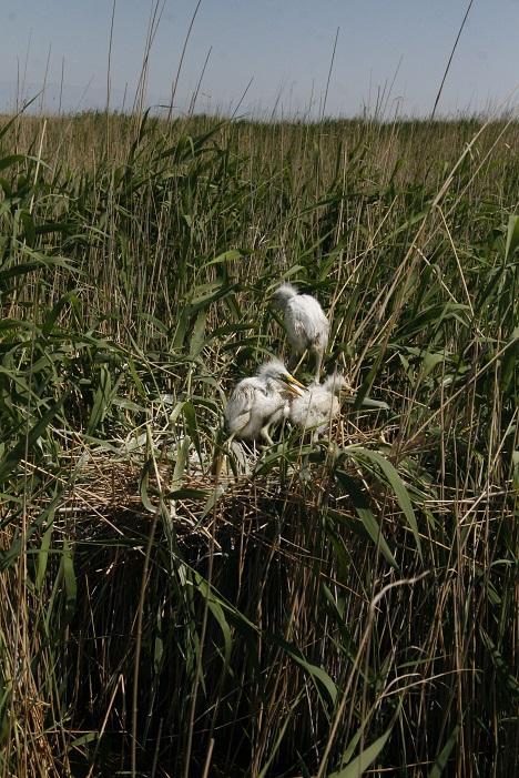 15形形色色巢15——芦苇荡 大白鹭幼鸟在窝里-马鸣 摄.jpg