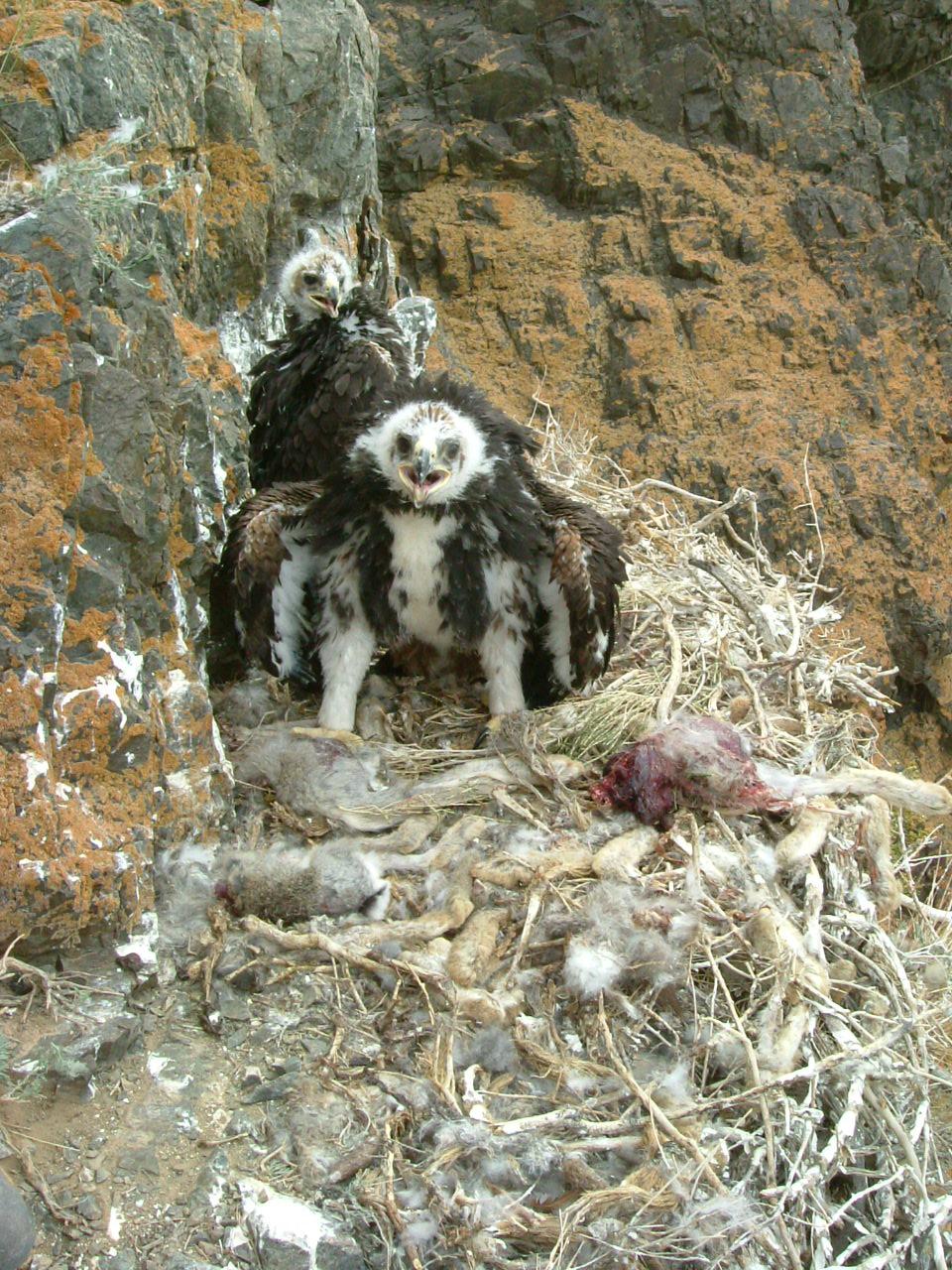 18两只金雕幼鸟在窝里-比赛吃野兔的冠军-马鸣 摄.jpg