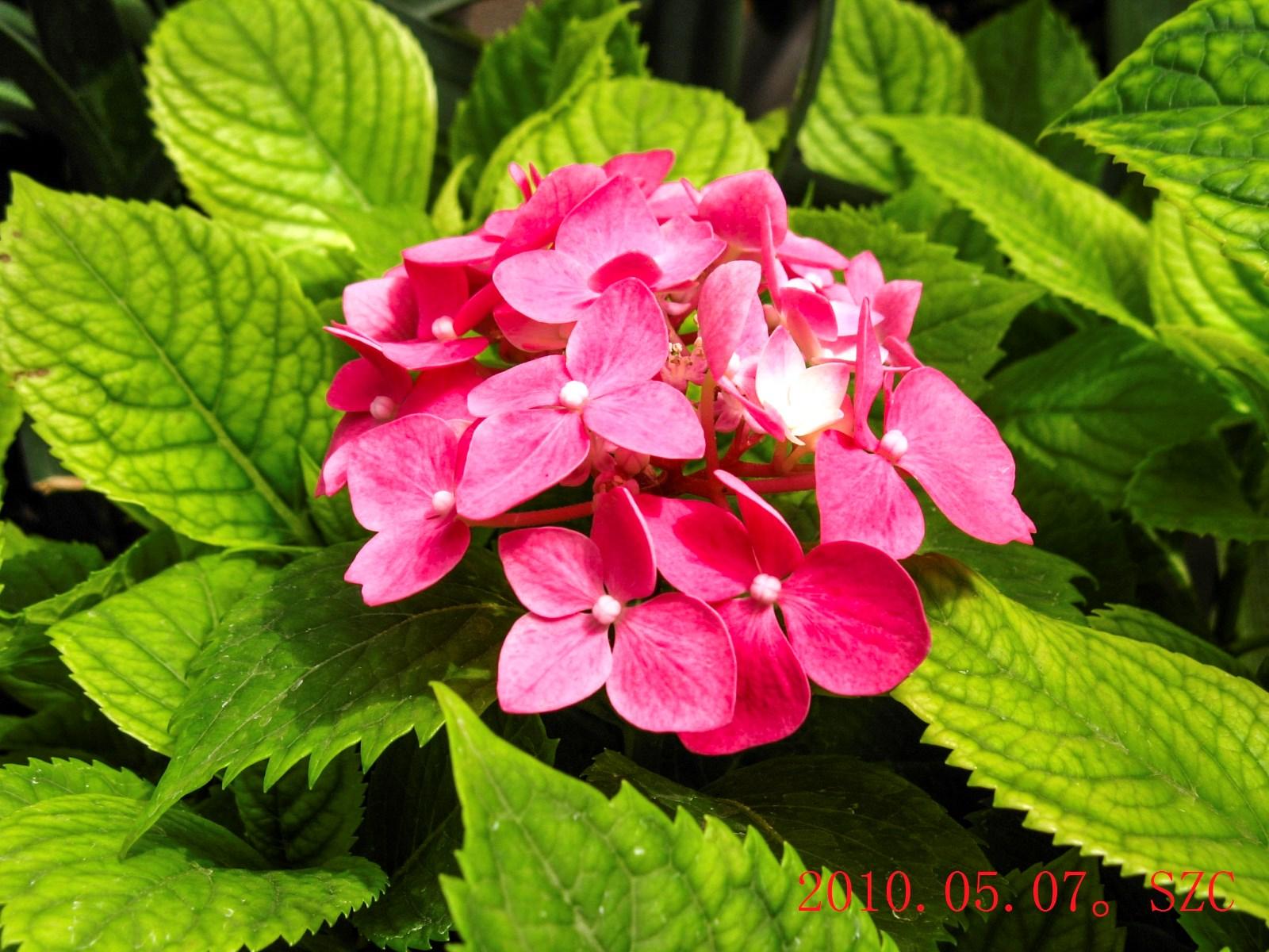 6IMG_0946红八仙花(绣球科)植物所_2-1.jpg
