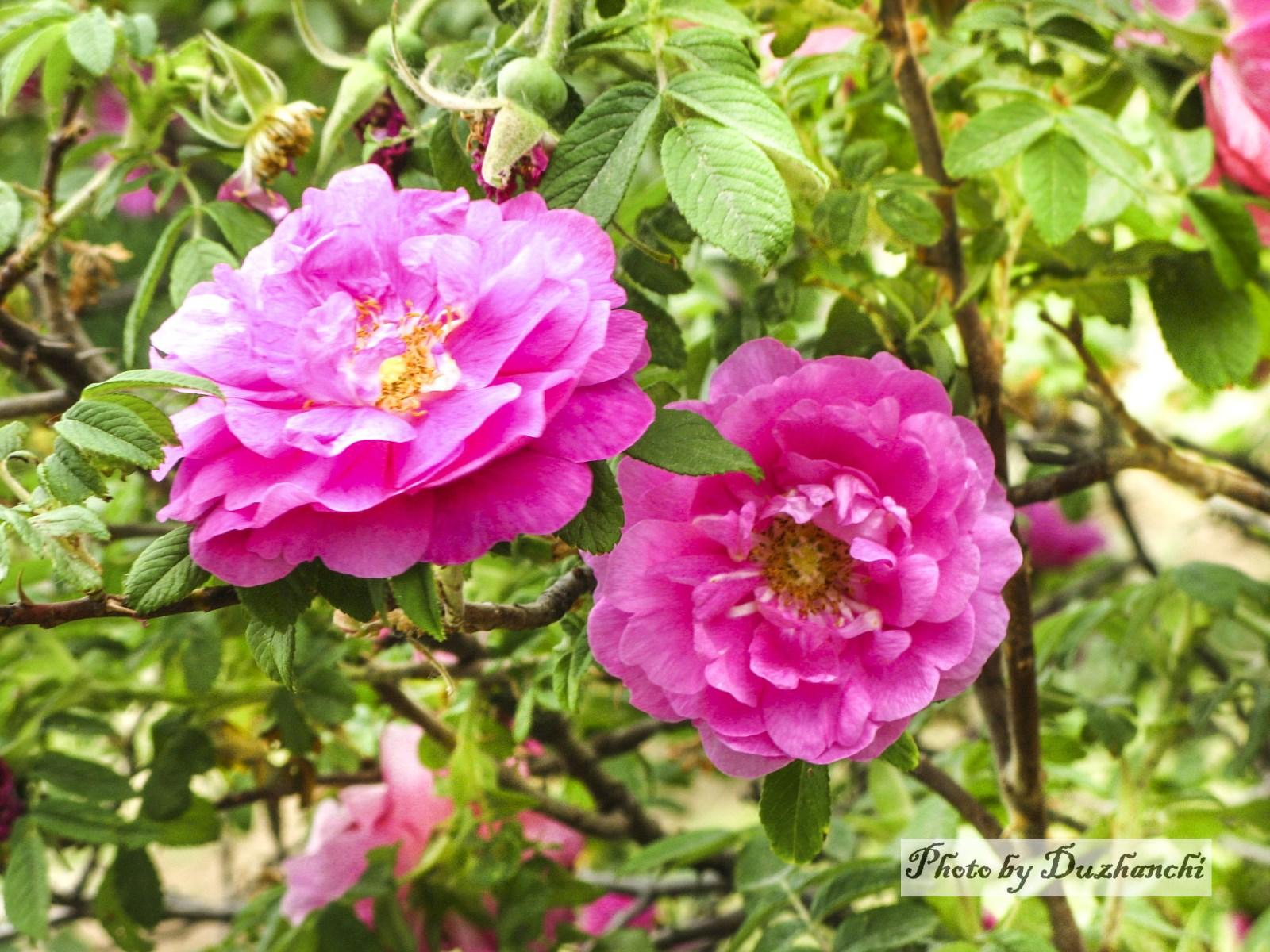 1IMG_0065玫瑰(植物所)_1水印.jpg