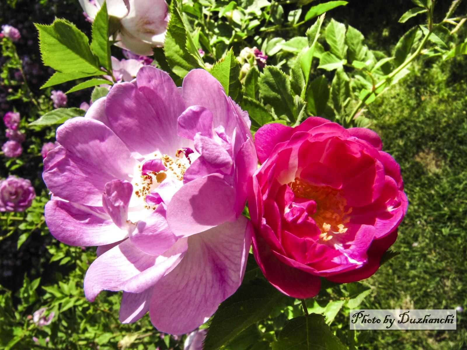 6IMG_6894玫瑰(北京植物园)_1水印.jpg