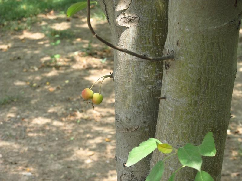 树干上的一对北美海棠果(1) 02 IMG_5000_副本.jpg