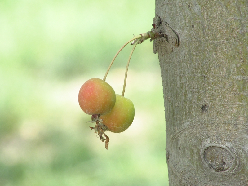 树干上的一对北美海棠果(1) 03 IMG_4952_副本.jpg